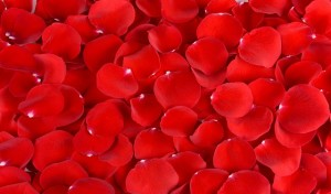 Beautiful petals of red roses close-up