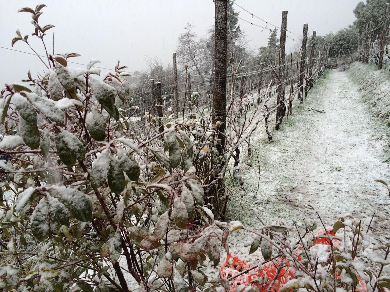Una suggestiva immagine di un filare di uva con la neve